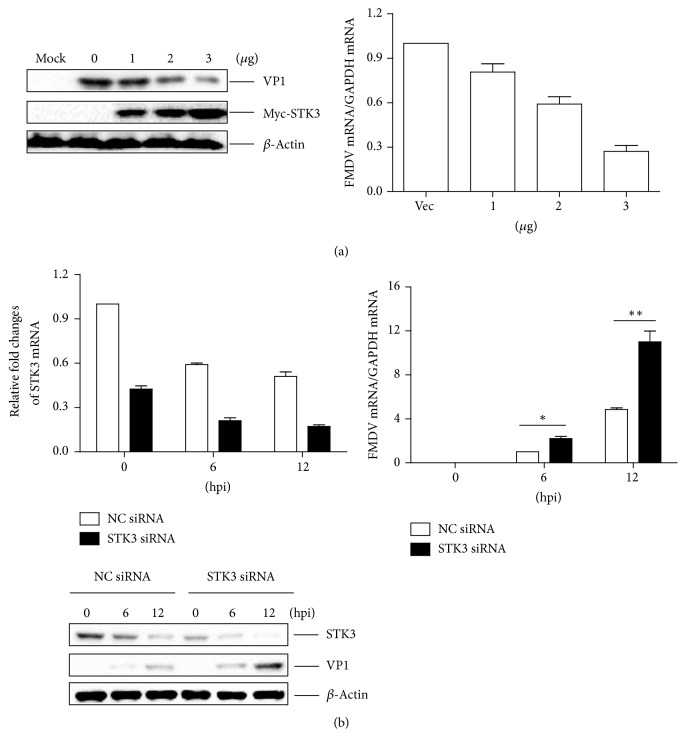 STK3 inhibits FMDV replication during virus infection. (a) PK-15 cells were seeded in 6-well plates, and the monolayer cells were transfected with 1, 2, and 3 μ g of a Myc-STK3 expressing plasmid and 3 μ g of an empty Myc vector. The empty Myc vector was used in the transfection process to ensure that the same amount of cells received the same amount of total plasmids. At 24 hpt, the cells were mock infected or infected with FMDV (MOI 0.5) for 12 h. The expression of viral RNA and the VP1 protein was detected by qPCR assay and western blotting, respectively. (b) PK-15 cells were seeded in 3.5 cm dish, and the monolayer cells were transfected with 150 nM of STK3 siRNA or NC siRNA for 48 h, followed by infection with equal amounts of FMDV (MOI 0.5). The cells were collected at the indicated time points (0, 6, and 12 h). Expression of STK3 mRNA and viral RNA was determined by qPCR assay. Expression of STK3 and the viral VP1 protein was detected by western blotting.