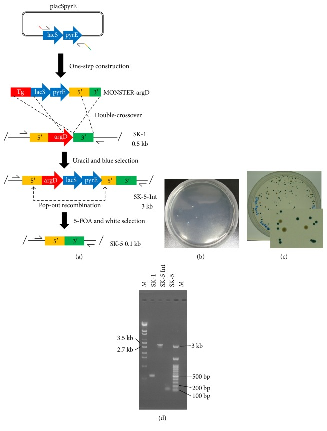 In-frame deletion of argD via the MONSTER. (a) Construction of an argD deletion mutant. A plasmid-borne pyrE - lacS marker served as the PCR template, which attached S. acidocaldarius chromosomal sequences (5′, 3′, and partial sequences of argD at the 5′ ends of the primers) to the ends of the selectable dual marker. After one-step construction, the MONSTER-argD was electroporated into strain SK-1. A double crossover between the MONSTER-argD and the chromosome at the Tg and 3′ regions results in the pyrE - lacS marker and 5′ region insertion at the argD locus. The resulting uracil prototroph transformants exhibit blue colonies and can be selected on uracil-free plates. An argD deletion mutant with the marker removed was generated by pop-out recombination at two duplicated 5′ regions, which can be selected by 5-FOA counterselection in combination with X-gal staining. Arrows show the positions of PCR primer sets. (b) Uracil and blue selection plate. (c) 5-FOA and white selection plate. (d) PCR analysis of the argD locus of the S. acidocaldarius strains SK-1 (Δ pyrE Δ suaI ), SK-5 Int (intermediate), and SK-5 (Δ pyrE Δ suaI Δ argD ) using argD-F-F/R as primers. The expected sizes of the PCR bands were 0.5 kb (wt), 3 kb (recombinant), and 0.1 kb (deletion mutant). A λ -EcoT14 or 100 bp DNA ladder was loaded in lane M.