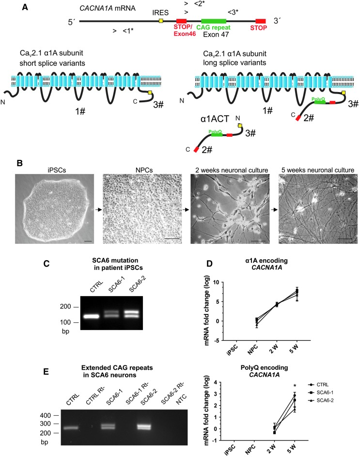 CACANA1A bicistronic gene expression in SCA6 iPSC-derived neurons. (A) Schematic representation of the human CACNA1A gene encoding the α1A subunit of the Ca V 2.1 channel (α1A) and the α1ACT transcription factor. Translation of α1ACT depends on an IRES. The inclusion of the polyQ-encoding CAG repeat in the α1A protein is determined by the alternative splicing of exon 46 encoding a stop codon. 1*-3* mark the binding sites for three sets of primers designed to amplify: all α1A mRNA isoforms (primer pair 1*), the long splice variants (including the CAG repeats) of the α1A mRNAs, and the α1ACT (primer pairs 2* and 3*). 1#-3# mark the epitopes for the antibodies designed to detect: the α1A protein (1#), the polyQ-containing α1ACT and long α1A protein isoforms (2#), and the all-known CACNA1A -encoded proteins (3#) (see Material and Methods section). (B) Phase-contrast microscopy images of SCA6 patient-derived cells used in this study: iPSCs, NPCs, immature neurons after 2 weeks of neuronal differentiation (2w neurons), and mature neurons after 5 weeks of neuronal differentiation (5w neurons). Scale bars 75 μm. (C) PCR of genomic DNA from control iPSCs yields a single amplicon containing the normal CAG repeat whereas from heterozygous SCA6-1 and SCA6-2 iPSCs two bands are amplified, with the higher band containing the expanded CAG repeats. (D) CACNA1A gene transcripts are amplified with primer set 1*, which detects all mRNA isoforms of CACNA1A encoding the α1A protein. CACNA1A is already detected in NPCs, and expression levels are highly upregulated during neuronal differentiation. No differences were detected between the expression levels of α1A encoding CACNA1A in SCA6 and control cells at any stage of neuronal differentiation. PolyQ-encoding splice variants for α1A and for α1ACT are detected in SCA6 and control neuronal cultures (primer set 2*). No difference was observed between the expression level of polyQ-encoding CACNA1A in SCA6 and control 2w neurons (immature neu