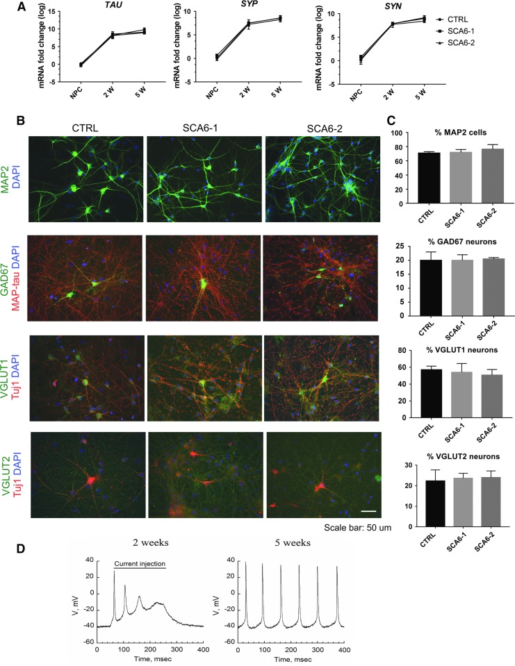 Neuronal phenotypes in <t>SCA6</t> neuronal cultures. ( A) mRNA expression levels of TAU , Synaptophysin ( SYP ), and Synapsin ( SYN ) in SCA6 and control neuronal cultures at 2 weeks (2w) and 5 weeks (2w) after starting NPC differentiation. Values are normalized to control NPCs. Each bar represents the mean ± s.e.m. from three independent experiments. One-way ANOVA test did not reveal any differences depending on genotype. (B) Immunostainings of SCA6 and control 5w neurons demonstrate expression of the pan-neuronal marker MAP2. The cultures contain a mixture of glutamatergic and GABAergic neurons expressing the neurotransmitter phenotype markers vesicular glutamate transporter 1 or 2 (vGLUT1/2) or glutamate decarboxylase 67 (GAD67). Scale bar 50 μm. (C) Quantification of neuronal marker expression in SCA6 and control 5w neuronal cultures. Bars represent the percentages of DAPI-positive cells expressing MAP2 in the upper panel , and the percentages of MAP2 neurons co-expressing GAD67, vGLUT1, and vGLUT2 in the lower panels . Each bar represents mean ± s.e.m. from three independent experiments. One-way ANOVA test was performed and failed to reveal genotype-dependent differences. (D) Typical action potentials recorded from 2w to 5w neuronal cultures. DAPI, 4′,6-diamidino-2-phenylindole; s.e.m, standard error of the mean.