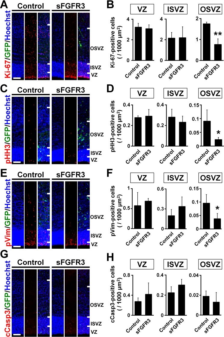 FGF signaling is required for cell proliferation in the OSVZ of the developing ferret cortex. pCAG-EGFP plus either pCAG-sFGFR3 or pCAG control vector was electroporated at E33, and the brains were dissected at P6. Sections were stained with anti-Ki-67 ( A and B ), anti-phospho-histone H3 (pHH3) ( C and D ), anti-phosphorylated vimentin (pVim) ( E and F ) and anti-cleaved caspase 3 (cCasp3) ( G and H ) antibodies. Scale bars = 100 μm. ( A, C, E and G ) Immunohistochemical images around the VZ, the ISVZ and the OSVZ. ( B, D, F and H ) Quantification of positive cells in the VZ, the ISVZ and the OSVZ. Note that Ki-67-, pHH3- and pVim-positive cells were significantly reduced by sFGFR3 in the OSVZ selectively. n = 3 animals for each condition. Bars present mean ± SD. *p