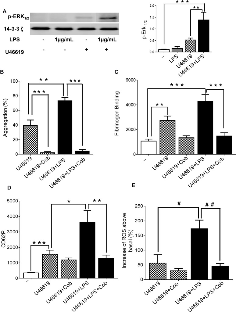 The role of ERK1/2 in LPS-mediated platelet potentiation. Washed human platelets stimulated or not with U46619 (0.25μM) in the presence or absence of LPS from E . coli O111:B4 (1μg/mL) were analysed by immunoblotting using antiphospho- ERK1/2 antibody. Total levels of 14-3-3 ζ were measured on each sample as a loading control (A). Human-washed platelet aggregation was performed by optical aggregometry following stimulation with U46619 (0.25μM) in the presence or absence of LPS from E . coli O111:B4 (1μg/mL) after 3 min of incubation with Cobimetinib (100μM) before activation with U46619 (0.25μM) (B). The effect of U46619 (0.25μM) and LPS- induced fibrinogen binding and P-selectin exposure after incubation with Cobimetinib (100μM) were measured in PRP by flow cytometry (C and D). Washed platelets (4 x 10 8 /mL) were pre-incubated with 10μM DCFH-DA in the presence or absence of Cobimetinib (100μM) before being activated with U46619 (0.25μM) in the presence or absence of LPS from E . coli O111:B4 (1μg/mL) and ROS levels were analysed by flow cytometry (E). Cumulative data represent mean values ± SEM (n = 4). (Anova-Bonferroni test, * P≤ 0.05; ** P≤ 0.01; *** P≤ 0.001; Test t student # P≤ 0.05; # # P≤ 0.01).