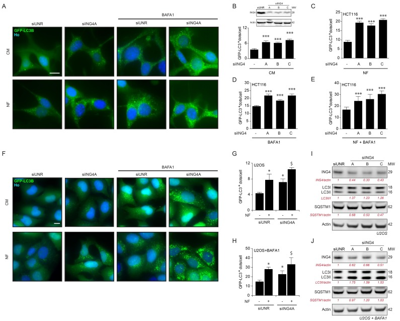 ING4 silencing induces autophagy A. Representative photomicrographs of ING4 knockdown (siING4A) HCT116 cells stably expressing GFP-LC3 treated with complete (CM) or nutrient free (NF) medium for 6h, in presence or absence of 1μM bafilomycin A1 (BAFA1) for the last 3h. The non-targeting siRNA (siUNR) was used as internal control of the experiments. Hoechst 33342 (Ho, blue) represents nuclear staining. GFP-LC3B puncta (green) correspond to autophagosomes. Scale bars: 10 μm. B. - E. Quantification of GFP-LC3B dots in ING4 knockdown HCT116 cells treated in CM or NF medium for 6h in presence or absence of BAFA1 for the last 3h. To knockdown ING4, 3 different siRNAs were used (siING4A, siING4B and siING4C). Western blot proves the efficiency of siING4s. Data are means ± SD ( n = 5). Statistical analysis was performed by Student's t test in comparison with the control condition, *** p
