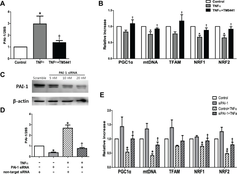 TM5441 pre-treatment and siPAI-1 improved <t>TNF-α-induced</t> mitochondrial dysfunction in HepG2 cells HepG2 cells were pretreated with 20 μM TM5441 before the exposure of 50 ng/ml TNF-α for 24 hours. mRNA expressions of ( A ) PAI-1 and ( B) mitochondria biogenesis-related genes, such as PGC-1α, mtDNA, TFAM, NRF1, and NRF2 were measured by RT-qPCR. Then, PAI-1 is downregulated with siRNA in which confirmed by immunoblot analysis. ( C ) 20 nM siPAI-1 was transfected 24 hours before the exposure of 50 ng/ml TNF-α for 24 hour. The mRNA gene expression of ( D ) PAI-1 and ( E ) the mitochondrial function-related genes were measured by RT-qPCR. Data are presented as mean±SE of 4-5 experiments. * p