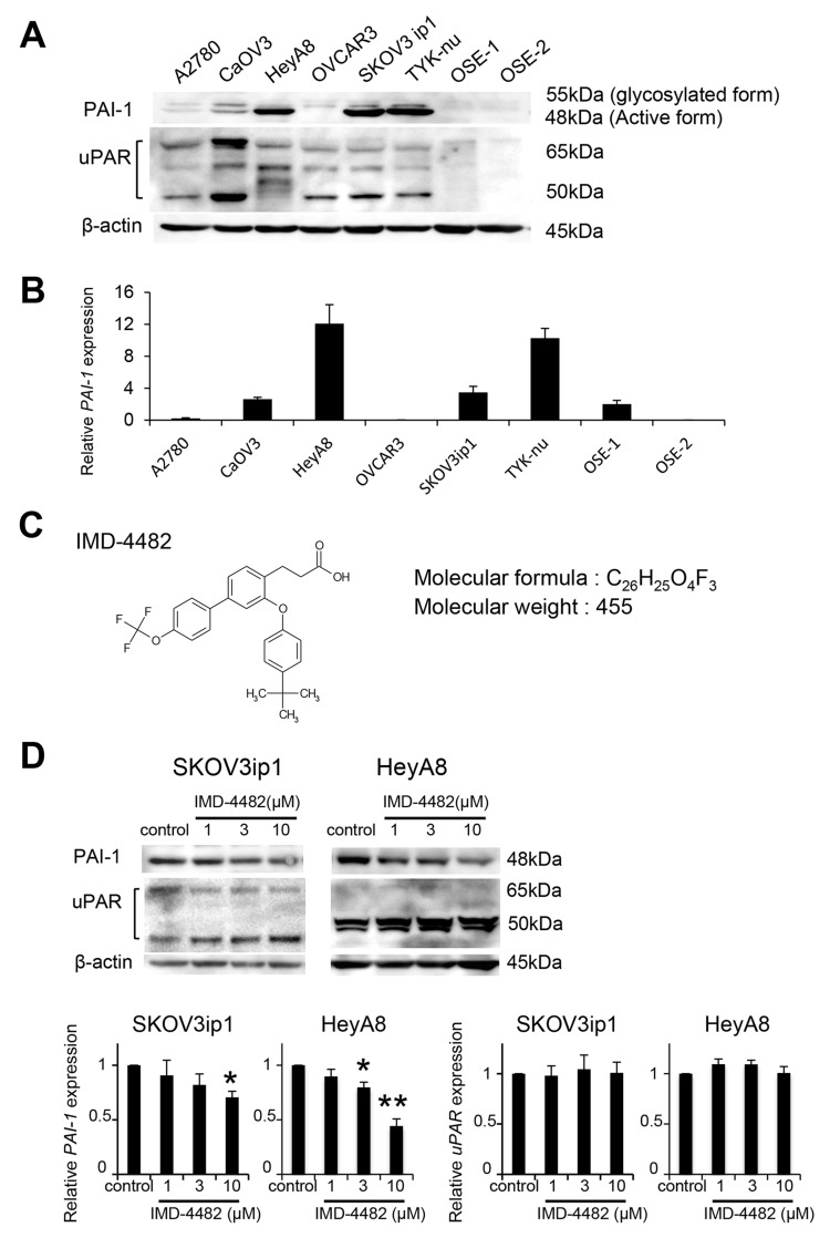 IMD-4482 inhibits PAI-1 activation of PAI-1-positive ovarian cancer cells PAI-1 expression in 6 serous ovarian cell lines and 2 different primary cultures of ovarian surface epithelium (OSE) cells was analyzed by western blot (A) . β-actin was used as a loading control. Real-time RT-PCR (B) . Total RNAs from the six cell lines and one OSE were collected and subjected to RT-PCR. The relative abundance of PAI-1 with respect to GAPDH expression was calculated. Molecular formula of IMD-4482 (C) . Western blot (D) . SKOV3ip1, HeyA8, and OVCAR3 cells were incubated with or without IMD-4482 in serum-free medium for 24 hours. Cell lysates were immunoblotted with antibodies against PAI-1 and uPAR. β-actin was used as a loading control. Experiments were repeated three times and are expressed as mean ± SD. * ; P