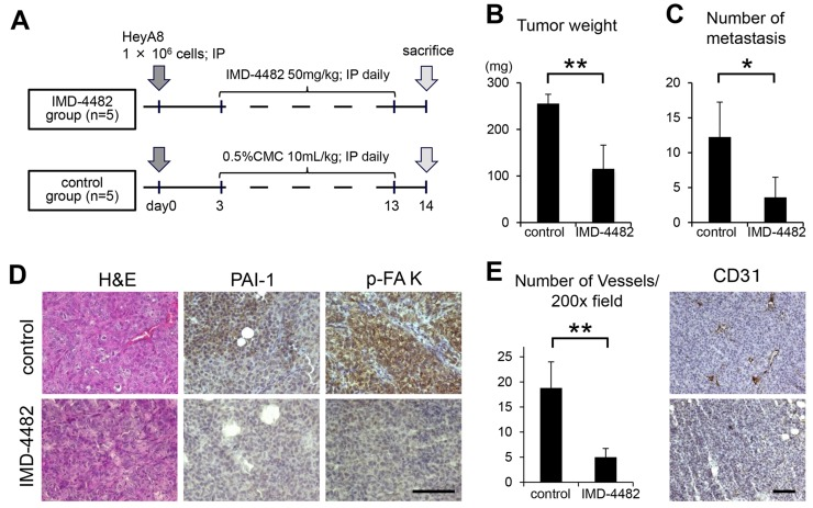 IMD-4482 inhibits peritoneal dissemination of ovarian cancer cells through inhibition of FAK phosphorylation and intratumoral vessel formation Experimental protocol (A) . A total of 1 × 10 6 HeyA8 cells were injected intraperitoneally into female BALB/c nu/nu mice. Three days after the injection, IMD-4482 (50 mg/kg body weight) or an equal amount of 0.5% CMC-Na (control) was injected intraperitoneally daily for 11 days. Effect of IMD-4482 on intraperitoneal tumor weight (B) and number of metastases (C) . Results are expressed as mean ± SD, each n = 5. Representative tumor areas were stained with H E, and immunostained with antibodies against PAI-1 and p-FAK (D) . Bar, 50 mm. Number of microvessels per field by CD31 staining (×200) (E, right). Results are expressed as mean ± SD, n = 5, each. The representative tumor areas immunostained with an antibody against mouse CD31 are shown (E, left). Bar, 50 μm. * , P