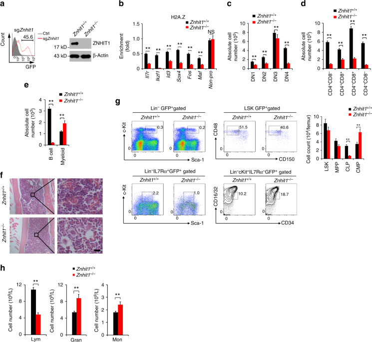 Znhit1 deletion abrogates H2A/H2A.Z exchange to disrupt skewed lymphoid lineage commitment. a B6;129- Gt(ROSA)26Sor tm1(CAG-cas9*,−EGFP)Fezh /J knockin mice were crossed with Vav-Cre mice to obtain tissue-specific Cas9 expression. HSCs were sorted and infected with sg Znhit1 -containing lentivirus and then transplanted into lethally irradiated recipient mice (CD45.1) for 8 weeks. ZNHIT1 was detected by immunoblotting. β-Actin were used as a loading control. b Indicated MPPs were sorted and lysed for ChIP assays with anti-H2A.Z antibody. Indicated promoters were examined by real-time qPCR. Signals were normalized to input DNA. c Indicated LMPPs were sorted and co-cultured with OP9-DL1 stromal cells as in Fig. 2c . Data are representative of six independent transfection and transplantation mice for each group. ** P