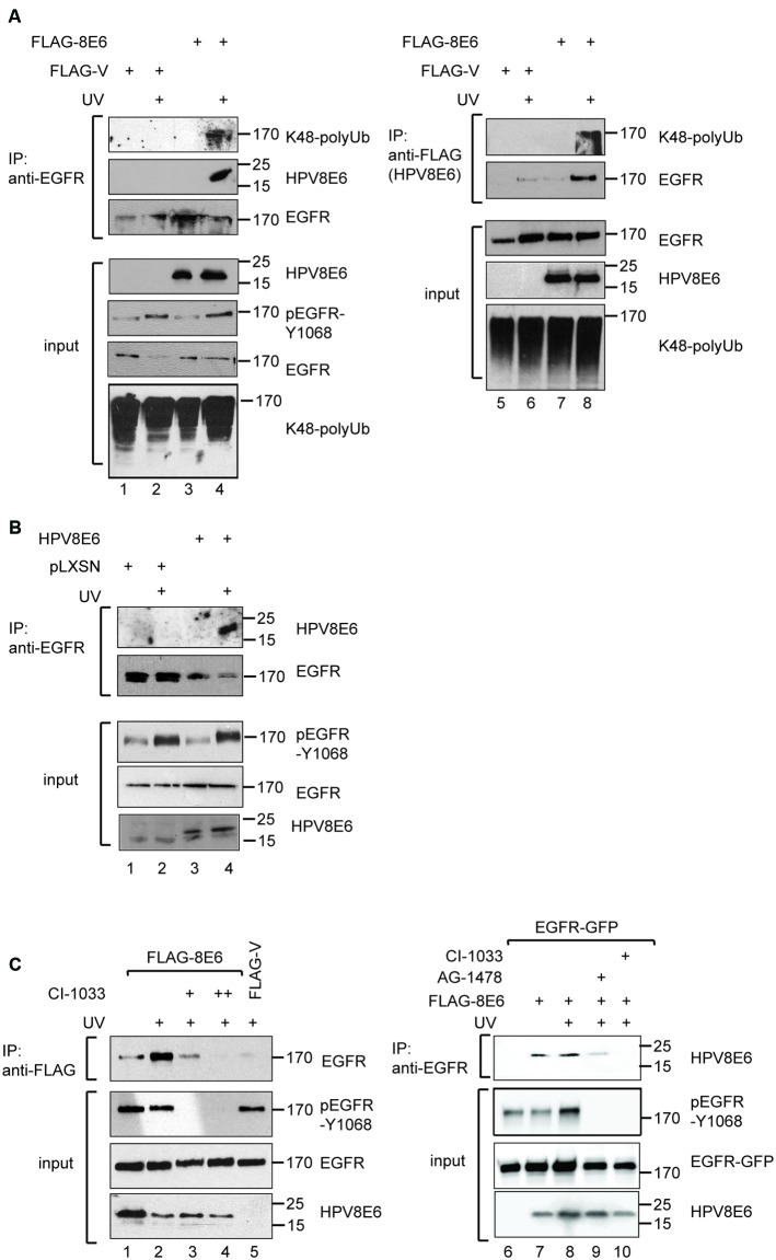 HPV8E6 directly binds to the ubiquitinated EGFR in an UV-dependent manner. (A) RTS3b cells were transiently transfected with a vector directing the expression of FLAG-tagged HPV8E6 under control of the CMV-promoter or the empty vector. Where indicated the cells have been irradiated with UV-light 30 min prior harvesting. 400 μg of extracts were incubated with the anti-EGFR-antibody (lanes 1–4) or with the FLAG-antibody (lanes 5–8), both coupled to sepharose, washed four times in 0.3 M KCl-buffer prior analysis by WB and 40 μg of the extracts were used in the input blots. (B) IP with anti-EGFR sepharose and 800 μg of extracts derived from the stable RTS3b-pLXSN and RTS3b-HPV8E6 lines, either left untreated or UV-irradiated 30 min prior harvesting. FLAG-HPV8E6 and EGFR present in the precipitate as well as in the input were detected by WB. (C) Extracts from UV-irradiated RTS3b cells that have been transiently transfected with the FLAG-HPV8E6 or the FLAG-vector were incubated either with DMSO (lanes 1, 2, 5), 3 μM (lane 3) or 7 μM (lane 4) Canertinib for 30 min. The IP was performed with the FLAG-antibody. All WB were developed with the indicated antibodies. In lanes 6–10, C33A cells were transiently transfected with expression vectors for EGFR-GFP and FLAG-HPV8E6, and UV-irradiated, where indicated, prior harvesting 30 min later. EGFR-GFP was precipitated from 400 μg of extract by the EGFR antibody and bound HPV8E6 was detected by the FLAG-antibody. The input blots were developed with the antibodies against pEGFR-Y1068, GFP, and FLAG. The positions of the molecular weight markers are provided (in kDa).