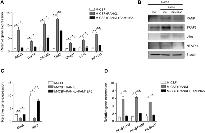 FAM19A5 regulates RANKL-induced gene expression during osteoclastogenesis. ( A , C , D ) Mouse BMDMs were stimulated with FAM19A5 (2 μM) in the presence of M-CSF (30 ng/ml) and RANKL (100 ng/ml) for 3 days. Cells were harvested for RNA preparation. qPCR was performed using specific primers for RANK , TRAF6 , OSCAR , TRAP , Blimp1 , c-FOS , NFATc1 , MafB , IRF-8 , DC-STAMP , OC-STAMP , Atp6v0d2 , and GAPDH . ( B ) Cells were harvested and Western blot analysis was conducted using anti-RANK, anti-TRAF6, anti-c-fos, anti-NFATc1, and β-actin antibodies. Data are presented as means ± SE (n = 3). Data are representative of three independent experiments ( A , C , D ). *p