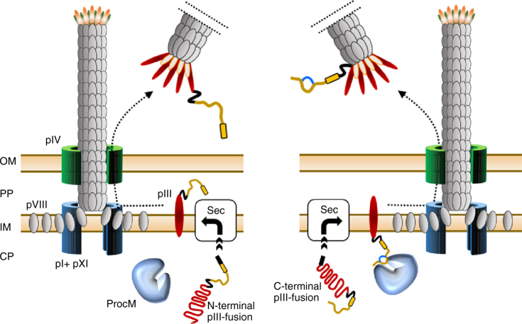 Display of lanthipeptide precursors on the N- and C-termini of phage pIII. N-terminal pIII display of largely unmodified lanthipeptide precursors (left panel). Translocation of unstructured peptide–pIII fusions from the cytoplasm (CP) via the Sec pathway (Sec) is fast allowing little or no lanthionine introduction by ProcM, whereas modified lanthipeptides are poorly transported via the narrow Sec pore. Prior to phage assembly, the precursor peptide (ocher) is exposed to the periplasm (PP) and no longer accessible to ProcM. C-terminal display of lanthipeptides (right panel). After translocation of the pIII–peptide fusion, the C-terminal exposed peptide remains in the cytoplasm allowing ProcM-catalyzed lanthionine introduction (indicated by a blue cycle). Phage display of modified peptide is accomplished after incorporation of pIII into the phage coat and subsequent extrusion of the phage particle into the medium. Black arrows indicate movement of capsid proteins to the phage assembly site. OmpA signal sequence in pIII fusions (black box), leader peptide (yellow box), linker sequences (black line), relevant phage coat proteins (as numbered), outer membrane (OM), and inner membrane (IM) are highlighted