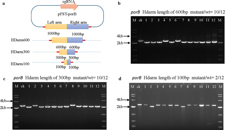 Evaluation of editing efficiency with different arm sizes. a Design of HDarms of various sizes (600, 300, 100 bp). Both sides of the HDarm contain a 20 bp overhang region of the Bgl II site from the pFST plasmid. b Disruption of the porB gene mediated by the CRISPR/Cas9 system in C. glutamicum ATCC 13032 with a 600 bp HDarm. The editing efficiency was 10/12, the lane 'ck' is the PCR product from the wild-type strain. c Disruption of the porB gene mediated by the CRISPR/Cas9 system in C. glutamicum ATCC 13032 with a 300 bp HDarm. The editing efficiency was 10/12. d Disruption of the porB gene mediated by the CRISPR/Cas9 system in C. glutamicum ATCC 13032 with a 100 bp HDarm. The editing efficiency was 2/12
