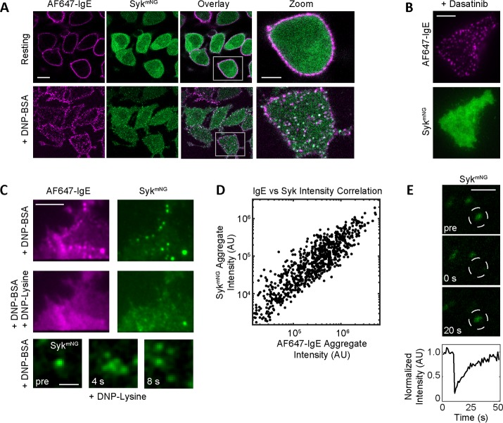 """Syk Recruitment to FcεRI. Syk-KO RBL cells expressing Syk mNG (green) were primed with AF647-IgE (magenta) and imaged after cross-linking with 0.1 µg/ml DNP-BSA. (A) Sample images from a confocal time series showing the redistribution of AF647-IgE-FcεRI and Syk mNG upon FcεRI stimulation (see also Supplemental Video 1). Resting cross-section shows homogeneous distribution of AF647-IgE-FcεRI at the plasma membrane and Syk mNG in the cytosol. Upon cross-linking (5 min), FcεRI aggregation and Syk mNG colocalization is readily seen at the adherent cell surface. Scale bar: 10.3 µm. White boxes in the """"Overlay"""" panels are enlarged in the """"Zoom"""" panels. Scale bar: 2 µm. (B) Treatment with 1 µM dasatinib results in a loss of Syk mNG recruitment (bottom) to FcεRI aggregates (top). Images of the adherent cell membrane acquired in TIRF. Scale bar: 5 µm. (C) Both FcεRI and Syk mNG aggregates (top) are disrupted upon addition of 100 mM monovalent DNP-lysine (middle). Scale bar: 5 µm. Selected images from a time series (bottom) show the dispersion of an individual Syk aggregate within seconds of DNP-lysine addition. Individual Syk mNG molecules can be seen diffusing away from the original diffraction-limited aggregate (see also Supplemental Video 2). Images acquired in TIRF. Scale bar: 1 µm. (D) Plot of positive correlation between Syk mNG and AF647-IgE intensity within each AF647-IgE aggregate. (E) Selected images from a confocal time series before and after photobleaching (at t = 0 s) of an individual Syk mNG aggregate. Scale bar: 1 µm. Bottom curve quantifies the rapid recovery of mNG fluorescence intensity within the bleached region (white circles)."""