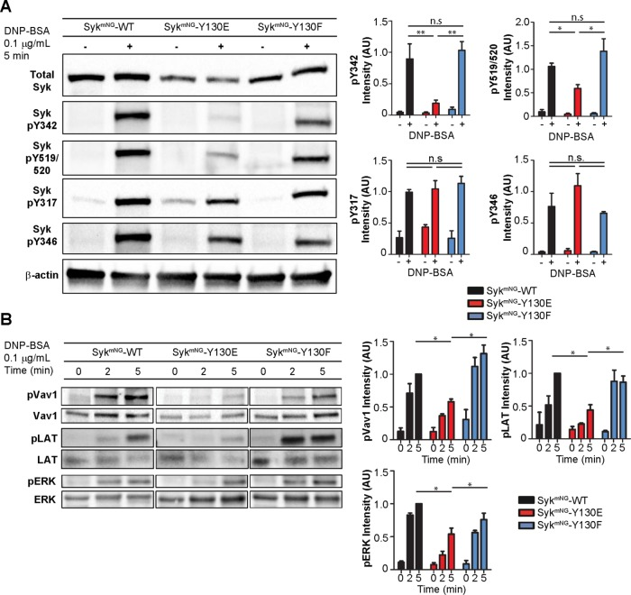 Phosphorylation kinetics of Syk and downstream signaling partners. (A) Western blot detection of the Syk phosphorylation profile in Syk-KO cells reconstituted with Syk mNG -WT, Syk mNG -Y130E, or Syk mNG -Y130F in response to stimulation with 0.1 µg/ml DNP-BSA for 5 min. Bar plots (right) represent mean and SD of relative Syk phosphorylation level from at least three experiments. Phosphorylation of tyrosines associated with Syk autocatalytic activity (pY519/520 and pY342) is significantly reduced ( t test: *, p