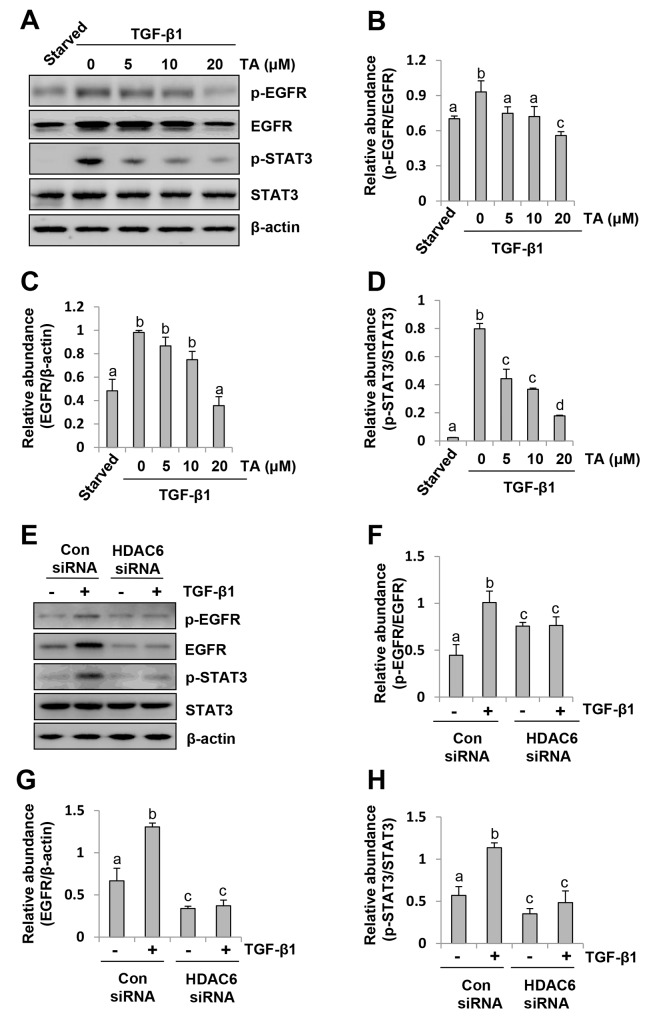 HDAC6 is required for phosphorylation of EGFR and STAT3 in peritoneal mesothelial cells exposed to TGF-β1 Serum-starved HPMCs were pretreated with various concentrations of TA (0-20 μM) for 1 hour (A) or transfected with siRNA targeting HDAC6 or scrambled (Con) siRNA for 24 hours (E) and then exposed to TGF-β1 (10 ng/ml) for an additional 24h. (A, E) Cell lysates were subjected to immunoblot analysis with antibodies p-EGFR, EGFR, p-STAT3, STAT3 or β-actin. (B, F) Expression level of p-EGFR was quantified by densitometry and normalized with EGFR. (C, G) Expression level of total EGFR was quantified by densitometry and normalized with β-actin. (D, H) Expression level of p-STAT3 was quantified by densitometry and normalized with total STAT3. Values are means±SD of at least three independent experiments. Bars with different letters (a-d) for each molecule are significantly different from one another (P