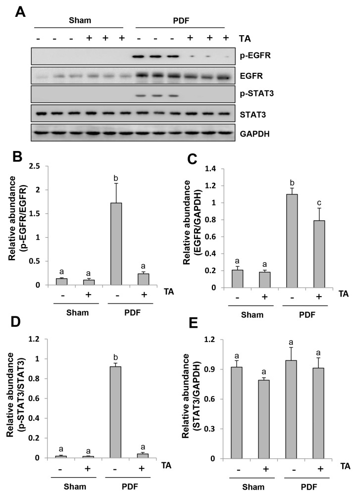 Inhibition of HDAC6 abrogates the activation of EGFR/STAT3 signaling pathway in the peritoneum exposed to high glucose dialysate Peritoneal membrane was collected at 28 days after PDF injection with or without administration of TA (70 mg/kg, daily). (A) The peritoneal tissue lysates were subjected to immunoblot analysis with specific antibodies against p-EGFR, EGFR, p-STAT3, STAT3 or GAPDH. (B) Expression level of p-EGFR was quantified by densitometry and normalized with total EGFR. (D) Expression level of p-STAT3 was quantified by densitometry and normalized with total STAT3. Expression levels of total EGFR (C) or total STAT3 (E) were quantified by densitometry and normalized with total GAPDH. Data are represented as the means±SD (n=6). Means with different letters are significantly different from one another (P