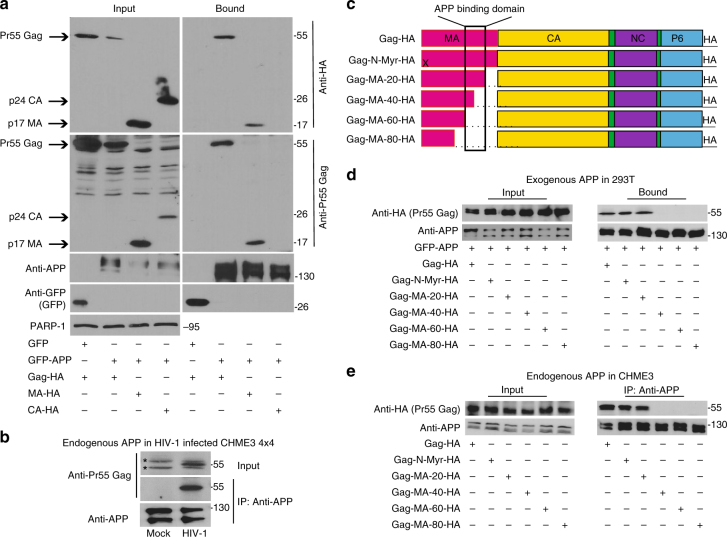 APP binds the MA region of HIV-1 Gag. a <t>GFP-tagged</t> human APP 770 (GFP-APP), but not GFP control, binds HIV-1 Gag (Gag-HA) or Matrix (MA-HA), but not Capsid (CA-HA) in GBP-binding assays. b Endogenous APP interacts with Pr55 Gag in WT HIV-1-infected CHME3 4 × 4 cells in anti-APP co-IP. *indicates unspecific bands detected in cell lysates. c Schematic of the HIV-1 Gag polyprotein used in binding assays, including the c-terminal HA tag. X indicates a point mutation in the N-terminal myristoylation site (Gag-N-Myr-HA). Sequential 20 aa deletions are indicated. d Gag mutants lacking aa 72-111 of MA (Gag-MA-40-HA, Gag-MA-60-HA, or Gag-MA-80-HA) fail to bind GFP-APP in <t>co-transfected</t> 293T cells in GBP-binding assay. e Gag mutants lacking aa 72-111 of MA (Gag-MA-40-HA, Gag-MA-60-HA, or Gag-MA-80-HA) fail to bind endogenous APP in CHME3 cells in anti-APP co-IP. Molecular weight markers (in kDa) are shown to the right of WBs