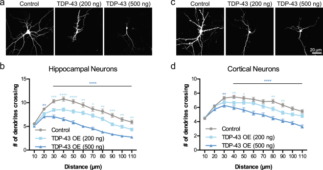 Overexpression of TDP-43 leads to reduced dendritic complexity. Representative images showing DIV 7 ( a ) hippocampal neurons and ( c ) cortical neurons transfected at DIV 2 with a plasmid expressing GFP and an empty vector control, TDP-43 (200 ng/well), or TDP-43 (500 ng/well). Sholl analysis for indicated conditions in ( b ) hippocampal neurons (Control, N = 97; TDP-43 overexpression (200 ng/well), N = 100; TDP-43 overexpression (500 ng/well, N = 80) and (d) cortical neurons (N = 90 for each condition). Two-Way ANOVA with Tukey's Test, *p