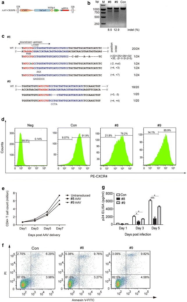 AAV-mediated SaCas9/sgRNAs delivery suppresses HIV-1 infection in human primary CD4 + T cells. a A schematic diagram of AAV transfer vectors containing SaCas9 endonuclease and sgRNA. b T7E1 cleavage assay after 5 days post-transduction. c DNA sequences of CXCR4 of the AAV transduced CD4 + T cells. d Flow cytometry analysis of CXCR4 expression in AAV transduced CD4 + T cells. Assays were performed as in Fig. 1 c. e CD4 + T cells counts at different times after transduction. CXCR4 disrupted cells continued to grow normally. f Flow cytometry analysis of apoptosis following AAV delivery SaCas9/sgRNA. g HIV-1 p24 was detected in the supernatants of the CD4 + T cells treated with AAV delivered SaCas9/sgRNA following HIV-1 NL4-3 infection. For ( d , e and f ), one representative out of three independent experiments is shown. For ( g ), the graph represents 3 independent infection experiments and error bars represent SEM. Statistical analysis determined using unpaired t-test (*** P