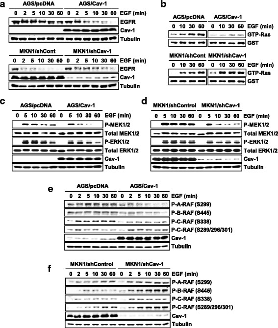 Opposite effects of low and high Cav-1 on inhibitory phosphorylation of RAF. a Cav-1 inhibition of EGFR stability. WT-Cav-1- or shCav-1-expressing cells were exposed to EGF (10 ng/ml) and EGFR level was determined using an immunoblot assay. b Effect of Cav-1 on Ras activity. GTP-Ras levels were measured using Ras activity assay. c , d Opposite effects of Cav-1 on EGF-induced MEK1/2 phosphorylation. e , f Effect of Cav-1 on EGF-induced RAF phosphorylation. Stimulatory phosphorylation of A-RAF (P-S299), B-RAF (P-S445) and C-RAF (P-S339) and inhibitory phosphorylation of C-RAF (P-S289/296/301) were detected using antibodies specific to phospho-RAF isoforms