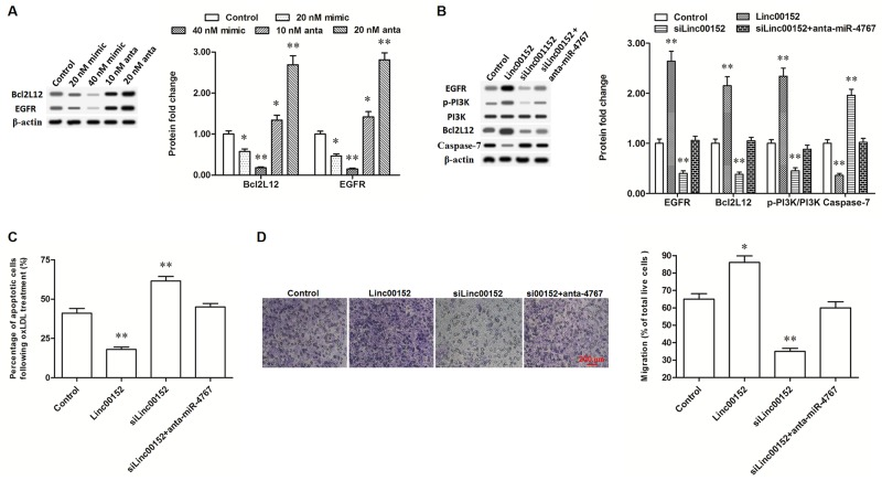 Linc00152 promoted the expression of Bcl2L12 and EGFR through diminishing miR-4767 (A) MiR-4767 negatively regulated the protein levels of Bcl2L12 and EGFR. HUVECs were transfected with miR-4767 mimics at concentrations of 20, and 40 nM or miR-4767 antagomirs at 10 and 20 nM for 48 h. Then, the cells were treated with 150 μg/mL ox-LDL for 24 h and the protein levels of Bcl2L12 and EGFR were detected by Western blotting. (B) Linc00152 promoted the expression of Bcl2L12 and EGFR through diminishing miR-4767. (C and D) Block of miR-4767 antagonized the changes of apoptosis and migration in HUVECs caused by linc00152 knockdown. HUVECs were transfected with 1.0 μg/mL pcDNA3.1-linc00152, 40 nM Linc00152 siRNA, or 40 nM Linc00152-siRNA plus 20 nM miR-4767 antagomirs. After incubation for 48 h, the cells were treated with 150 μg/mL ox-LDL for 24 h. The protein levels of Bcl2L12 and EGFR were detected by Western blotting. Cell apoptosis was checked by TUNEL assay and cell migration was detected with the Transwell Migration assay. * P
