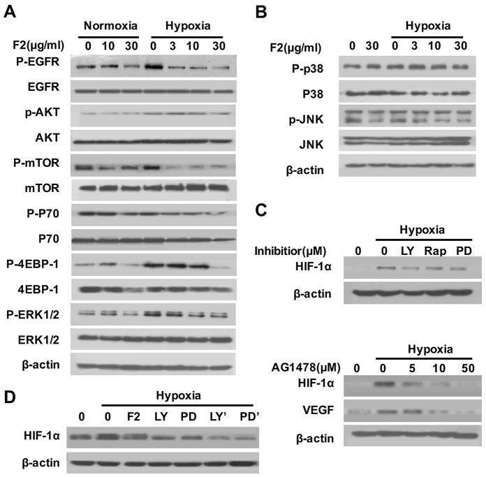 The effects of F2 on the EGFR/PI3K/AKT/mTOR and MAPK pathways (A, B) Effects of F2 on hypoxia-induced signaling pathways related to the expression of HIF-1α in U87 cells. Cells were pretreated with the indicated concentrations of F2 for 1 h, then incubated under normoxic and hypoxic conditions for 1 h. Total proteins were then collected for western blotting using antibodies as indicated. (C) Effects of inhibitors on hypoxia-induced expression of HIF-1α in U87 cells. Cells were pretreated with LY (LY294002, 100 μM), Rap (Rapamycin, 100 nM), PD (PD98059, 100 μM) and AG1478 for 1 h, and then incubated under normoxic or hypoxic conditions for 16 h. Total proteins were subjected to western blotting using antibodies against HIF-1α. (D) Cells were pretreated with or without LY (LY294002, 100 μM) or PD (PD98059, 100 μM), then co-treated with or without F2 (10 μg/ml) for 16 h under hypoxic conditions. LY' and PD' indicate cells treated with inhibitors and F2. Total proteins were collected for western blot analysis.