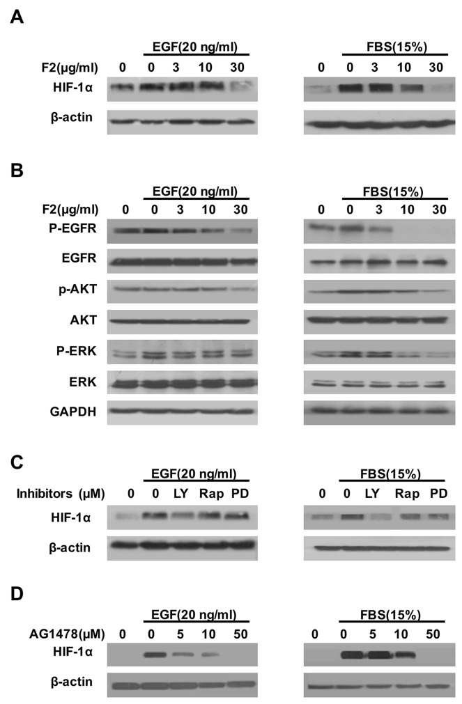 The effects of F2 on EGF- and FBS-induced HIF-1α expression (A, B) Effects of F2 on EGF- or FBS-induced signaling related to the expression of HIF-1α in U87 cells. Cells starved for 24 h were pretreated with the indicated concentrations of F2 for 1 h, followed by incubation with EGF or FBS for16 h or 1 h respectively. HIF-1α and the phosphorylated and total levels of EGFR, ERK, and AKT were determined by western blotting. (C) Effects of kinase inhibitors on EGF- or FBS-induced expression of HIF-1α in U87 cells. Cells starved for 24 h were pretreated with LY (LY294002, 100 μM), Rap (Rapamycin, 100 nM), PD (PD98059, 100 μM) and AG1478(5-50 μM) for 1 h, then incubated with EGF or FBS for16 h. Total protein extracts were subjected to western blotting using antibodies against HIF-1α or β-actin. (D) U87 cells were pre-treated with the indicated concentrations of AG1478 for 1 h, then incubated with EGF or FBS for 16 h. Total protein extracts were analyzed by western blotting with the indicated antibodies.