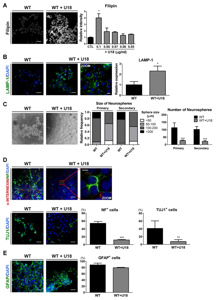 U18 treatment leads to impairments of self-renewal and neuronal differentiation in WT-iNSCs through abnormal cholesterol accumulation (A) Representative filipin staining results indicates that U18 treatment induced cholesterol accumulation, compared to non-treated WT-iNSC, scale bar = 50 μm. U18 was treated at various concentration to determine the appropriate concentration. The intensity of filipin was analyzed and quantified. (B) U18-treated WT-iNSCs were stained with antibody against LAMP-1 and quantified using the same method as in Figure 3C , scale bar = 50 μm, zoom scale bar = 10 μm. (C) Phase-contrast images of the control- and U18-treated WT-neurospheres, scale bar = 100 μm (left). Self-renewal ability of U18-treated WT-neurosphere was characterized by the size (middle) and number (right) of neurospheres. (D) After U18 treatment, WT-iNSCs were differentiated into neurons (α-INTERNEXIN, NF, and TUJ1). Nuclei were counterstained with DAPI, scale bar = 50 μm, zoom scale bar = 10 μm. (E) U18-treated WT-iNSCs and non-treated WT-iNSCs were differentiated into GFAP-positive astrocytes. Nuclei were counterstained with DAPI, scale bar = 50 μm. Differentiation capacity into neurons (D) and astrocytes (E) was quantified using the same method as in Figure 2C . * P