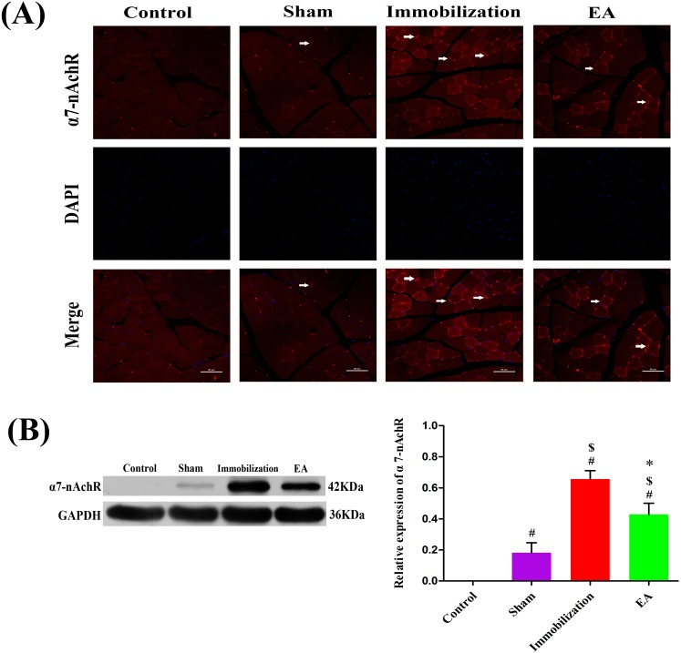 Effects of EA on the expression of <t>α7-nAChR</t> (A) Immunofluorescence analysis was performed to determine α7-nAChR expression on Tiabilis anterior muscle 14 days after the procedure. The samples were immunostained with an anti-α7-nAChR-antibody (red, → marks a positive expression). The result shows that α7-nAChR expression are sharply increased and clustered on the muscle membrane of rats in the immobilization group. Representative results from three independent experiments are shown here (scale bar = 50 μm). (B) The Western blot analysis of the α7-nAChR proteins are shown for each groups. Relative intensity of α7-nAChR to GAPDH is shown in the graphs. α7-nAChR significantly increased after the immobilization for 14 days. Electroacupuncture suppressed the expression of α7-nAChR in EA group. All values are expressed as means ± SD (n=6/group). # P