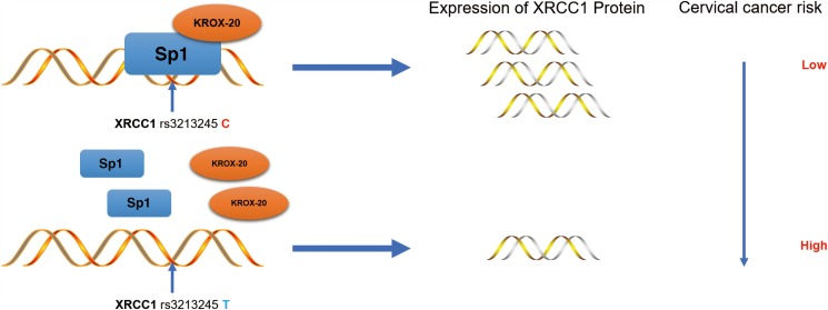 Schematic model of the regulations among rs3213245 and XRCC1 involved in cervical cancer development The transcription factor Krox-20 was recruited to the Sp1 binding motif. The rs3213245 C > T polymorphism may change the binding affinity of the transcription factor Sp1-Krox-20 complex to the mutation region, thereby regulating the expression of the XRCC1 gene and ultimately leads to cervical cancer development.