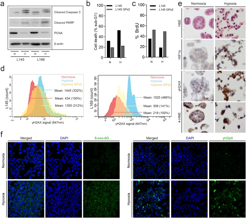 Chronic hypoxia induces oxidative damage and promotes tumor cell death (a) Human colonospheres were cultured in hypoxia (0.1%) and normoxia (21%) for 72 hours. Cells were lysed and analyzed by Western blotting for PCNA (proliferation) and cleaved caspase-3 (apoptosis) (cropped gels). (b) Experiment performed as in (a) but human colonospheres overexpressing GPx2 were included. FACS analysis of PI-stained cells was then used to assess cell death. The bar graph shows the percentage of cells with sub-G1 DNA content. (c) The culture conditions were similar to a and b. Cells were pulse labeled with BrdU just prior to FACS analysis to assess the percentage of proliferating cells. (d) FACS analysis of γH2AX levels in control and GPx2-overexpressing colonospheres. Cells were exposed to hypoxia for 24 hours. (e) Colonospheres were cultured in normoxia or hypoxia for 24 hours and were subsequently embedded in agar and fixed in formalin for IHC analysis of HIF1α, γH2AX and 4-HNE levels. (f) Colonospheres were cultured in normoxia or hypoxia for 24 hours. After single cell making living cells were FACS sorted and processed for immunofluorescence analysis of 8-oxo-dG (left panel) and γH2AX (right panel). DAPI was used to visualize cell nuclei.