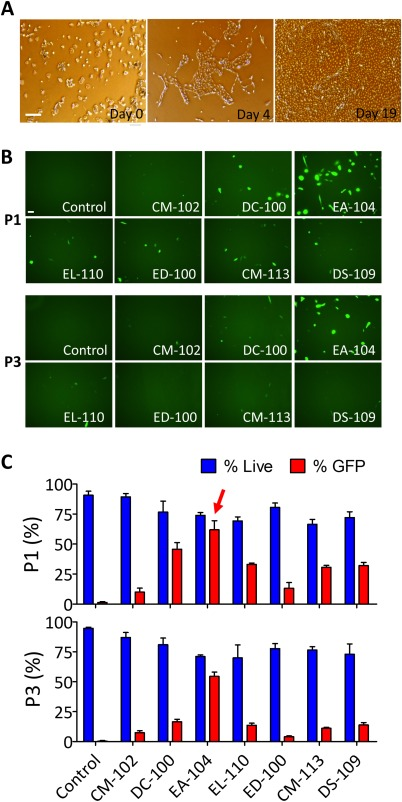 Expansion and transfection efficiency test of cells from urine samples. (A) : Representative images of human trisomic urine‐derived cell expansion on days 0, 4, and 19. Scale bar = 100 µm. (B) : Representative images of GFP expression 1 day after transfection of pmax‐GFP in urine‐derived T21 cells with indicated solutions and programs. Seven different transfection programs were used in cells transfected in either P1 or P3 solution. Scale bar = 50 µm. (C) : Bar graph representation of the survival rate (blue) and efficiency of pmax‐GFP transfection (red) in urine‐derived T21 cells as a function of the transfection program in either P1 (upper panel) or P3 (lower panel) solution. Red arrow in the P1 panel indicates the final program (EA‐104) selected for episomal vector transfection. Efficiencies were calculated as number of GFP positive cells divided by total cell numbers (bar graphs represent means ± SEM); and dead cells were determined by morphology. Abbreviation: GFP, green fluorescent protein.