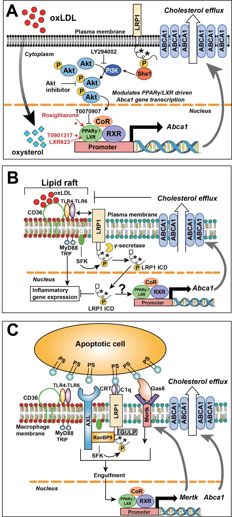 Role of LRP1 NPxY phosphorylation in macrophage lipid accumulation and atherogenesis. ( A ) Tyrosine phosphorylation of LRP1 NPxY motifs (as indicated by asterisks), specifically the distal NPxY motif, is necessary for interaction with Shc1, which in turn activates PI3K/Akt signaling. Phospho-Akt modulates PPARγ/LXR driven Abca1 gene transcription and is necessary for the full effect of ox-LDL and PPARγ/LXR induced expression of Abca1 to mediate cholesterol efflux. Inhibition of PI3K/Akt (using LY294002 or Akt inhibitor) results in only partial induction of Abca 1 in response to ox-LDL and PPARγ/LXR agonists (rosiglitazone, T0901317, LXR623). ( B ) LRP1 integrates inflammatory signals and cholesterol homeostasis in macrophages. Inflammatory signals are initiated by the interaction between oxLDL and CD36/TLR4-6 in lipid rafts. In the setting of inflammation or cholesterol loading, increased proximity of LRP1 with activated SFKs in lipid rafts favors LRP1 tyrosine phosphorylation. This, in turn, activates a Shc1/PI3K/Akt/Pparγ/Lxrα axis that promotes Abca1 expression and cellular cholesterol export, which then leads to reduction of lipid raft cholesterol content and dissociation of LRP1 from the lipid raft, thus creating a negative feedback loop. LRP1 can also be cleaved by γ–secretase, thereby releasing the intracellular domain (ICD) which translocates to the nucleus where it suppresses inflammatory gene expression ( Zurhove et al., 2008 ). Whether the LRP1 ICD, in a phosphorylated or unphosphorylated state, can also alter ABCA1 expression is currently unknown. CD36, cluster of differentiation 36; TLR, toll like receptor; MyD88, myeloid differentiation primary response protein 88; TRIF, TIR domain-containing adaptor protein inducing IFNβ; SFK, SRC family kinase. ( C ) LRP1 regulates clearance of apoptotic cells (AC) through efferocytosis. LRP1 coordinates with other receptors, such AXL and MerTK, and adaptors such as RanBP9 and GULP, to recognize and engulf apoptotic