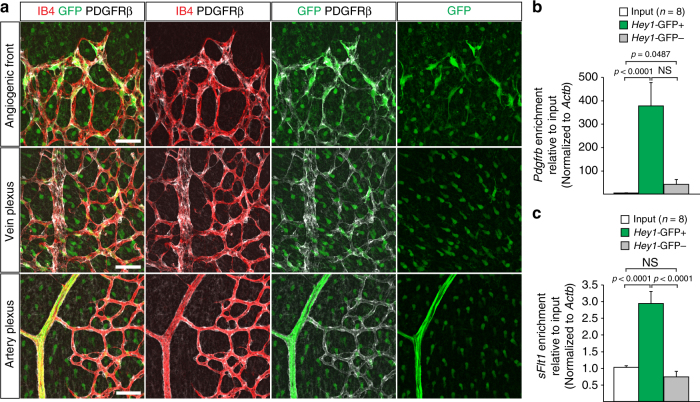 Expression of sFlt1 in pericytes at the angiogenic front. a Maximum intensity projections of confocal images from P6 retinas of the Hey1 -GFP transgenic reporter mouse model stained for GFP (green), PDGFRβ+ (white) and IB4 (red). Images of the first row show enrichment of Hey1 -GFP+, PDGFRβ+ perivascular cells in the angiogenic front in comparison to mural cells covering the remodeling central plexus around veins (middle row) and arteries (bottom row). Note strong expression of Hey1 -GFP reporter in arterial ECs (bottom row). Scale bar , 50 µm. b , Quantitation of Pdgfrb expression by qPCR in P6 PDGFRβ+ retinal pericytes sorted based on GFP expression in comparison to whole-retina single-cell suspension (input). Note significant enrichment of Pdgfrb in both (GFP+ and GFP−) pericyte fractions and higher expression in the Hey1 -GFP+ subset. Error bars, s.e.m. p -values, Kruskal–Wallis and Dunn's multiple comparison test. NS, not statistically significant. c Quantitation of sFlt1 expression by qPCR in sorted P6 retinal pericytes in comparison to whole-retina single-cell suspension (input). Note significant enrichment of sFlt1 expression in Hey1 -GFP+ pericytes in comparison to input and GFP- pericytes. Error bars, s.e.m. p -values, one-way ANOVA and Tukey's multiple comparison test. NS, not statistically significant