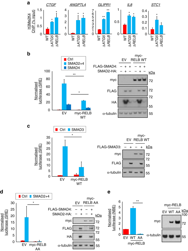 Autophagy/RELB suppress activation of TGFβ gene promoters independent of NF-κB binding elements. a WT, Δ ATG5 and Δ RELB A549 cells were subjected to chromatin immunoprecipitation (ChIP) for dimethyl-K4-histone H3 (H3Me2K4). Precipitating proximal promoter DNA was quantified by qRT-PCR, expressed as a percentage of input (means, n = 3, ±S.D., * P