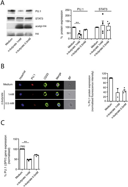 Exposure to n‐butyrate results in downregulation of PU.1 expression in primary human PBMO. PBMO were cultured in the absence or presence of different concentrations of n‐butyrate (1 mM, 0.5 mM). (A) After 24 h of culture in the presence of the <t>pan‐caspase</t> inhibitor <t>z‐VAD‐fmk,</t> protein expression of PU.1, STAT3 and histone H4 (loading control) as well as the acetylation state of histone H4 (acetyl‐H4) was determined in PBMO lysates by Western blotting using PU.1, STAT3, histone H4, and acetylated histone H4 specific antibodies (left panel). Corresponding densitometric quantification of protein expression levels was performed as described in Materials and Methods (right panel). Shown are the means ± SEM as well as individual data points of 5 independent experiments. (B) Cells were stained for Hoechst 33342, CD33, annexin V, and PU.1 and analyzed by InFlow microscopy. At least 10,000 images were collected and gating was performed to generate a set of single, in‐focus cell images. A region was created on CD33 + annexin V − PBMO. Left panel: Representative images of PU.1 in annexin V − PBMO (−/+ n‐butyrate) were selected and are shown with the overlay images of PU.1, Hoechst 33342 and CD33 (termed merge) in the 4th column. BF: bright field. Right panel: PU.1 expression (measured as fluorescence intensity) in annexin V − untreated PBMO (Medium) was set to 100%. PU.1 expression levels in n‐butyrate (1 mM, 0.5 mM) treated PBMO was calculated as % expression of untreated control. Shown are the means ± SEM as well as individual data points of 3 independent experiments. (C) After 4 h of culture, expression of the gene encoding PU.1 (SPI1) was determined by qPCR. Normalized transcript levels in n‐butyrate (1 mM, 0.5 mM) treated PBMO were presented as % expression of untreated control (medium). Shown are the means ± SEM as well as individual data points of 3–4 independent experiments. Numbers in brackets indicate the mean transcript numbers (normalized to PPIB) of 3