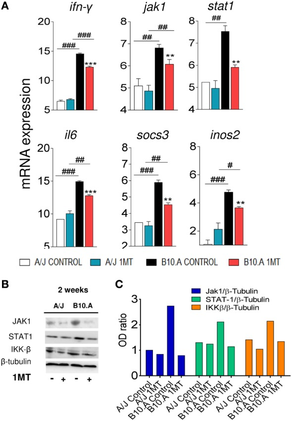 Indoleamine-2,3 dioxygenase (IDO) is regulated by IFN-γ signaling in B10.A dendritic cells (DCs). 1-Methyl- dl -tryptophan (1MT) treated or untreated B10.A and A/J mice were infected i.t. with 1 × 10 6 yeast cells of P. brasiliensis , and 2 weeks after infection total lung inflammatory cells were obtained and DCs purified with anti-CD11c magnetic beads. (A) The relative expression of mRNA of IFN-γ, Janus kinase 1 (Jak1), signal transducer and activator of transcription (STAT1), IL-6, suppressor of cytokine signaling 3 (SOCS3), and nitric oxide synthase (NOS2) was measured by real-time PCR. (B) Presence of Jak1, Stat1, IKK-β, and IDO1 proteins was assessed by western blot in supernatants of lysed DCs. Proteins were estimated by analyzing the intensity of each band normalized by β-tubulin, used as control. (C) Densitometry of bands was performed using ImageQuant TL 8.1 software. The asterisks represent statistically significant differences between treatments (* p