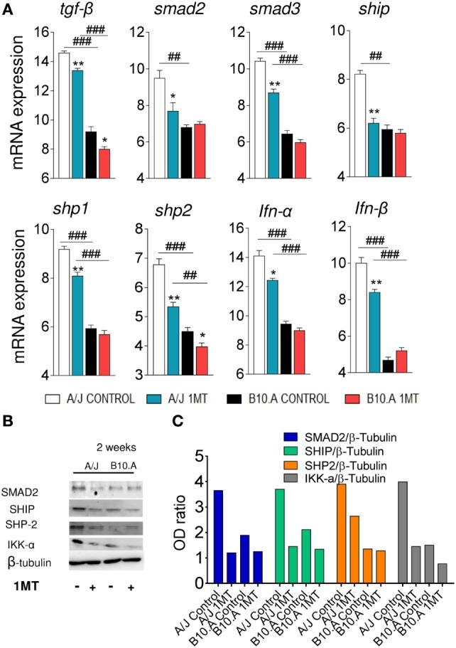 Indoleamine-2,3 dioxygenase (IDO) is regulated by TGF-β signaling in A/J dendritic cells (DCs). 1-Methyl- dl -tryptophan (1MT)-treated or -untreated B10.A and A/J mice were infected i.t. with 1 × 10 6 Paracoccidiodes brasiliensis yeasts and 2 weeks after infection total lung inflammatory cells were obtained and DCs purified by anti-CD11c magnetic beads. (A) The relative expression of mRNA of TGF-β, Smad2, Smad 3, SHIP, SHP-1, SHP-2, IFN-α, and IFN-β was measured by real-time PCR. (B) Smad2, Ship, Shp-2, IKK-α and IDO1, and pIDO protein expression was assessed by western blot in supernatants of lysed DCs. (C) Proteins were estimated by analyzing the intensity of each band normalized by β-tubulin, used as control. Densitometry of bands was performed using ImageQuant TL 8.1 software. Values are the mean ± SEM of three independent experiments; the asterisks represent statistically significant differences between treatments (* p