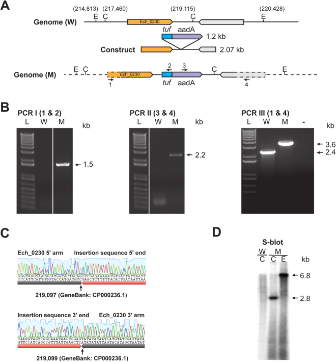 Targeted allelic exchange mutagenesis to disrupt Ech_0230 gene. ( A ) An illustration depicting the genomic segment spanning the region selected for preparing allelic exchange construct, including the restriction enzyme sites {EcoRI (E) and ClaI (C)} used for the mapping the insertion. Genomic coordinates for restriction enzyme sites and the size of inserted fragment ( tuf -aadA) were included to allow determination of the expected DNA sizes in PCR and Southern blot analysis. ( B ) Amplicons resolved following three different PCRs using primers targeting to the genomic regions upstream and downstream to the allelic insertion (primers identified as 1 and 4) and to the inserted DNA (primers; 2 and 3). (L, 1 kb plus molecular weight DNA markers; W, PCR with wild type genomic DNA as the template; M, PCR with mutant genomic DNA as the template). ( C ) PCR DNA Sequence verification of insertion sites in the targeted mutant. DNA sequence generated from amplicons (panel B); sequence shown above black arrow lines represents the sequence from E . chaffeensis genome, while the sequence above the orange arrowhead lines represents the inserted sequence in the gene disruption mutant. Sequences boundaries at the 5′ and 3′ insertion junctions were identified with a small black arrow lines. ( D ) Southern blot analysis of genomic DNAs (W and M) digested with ClaI ( C ) or EcoRI ( E ). The blot analysis was performed with aadA gene segment as the probe. (Full-length gels and blots were included in the Supplementary Figure file, as parts of the Figure had cropped images).