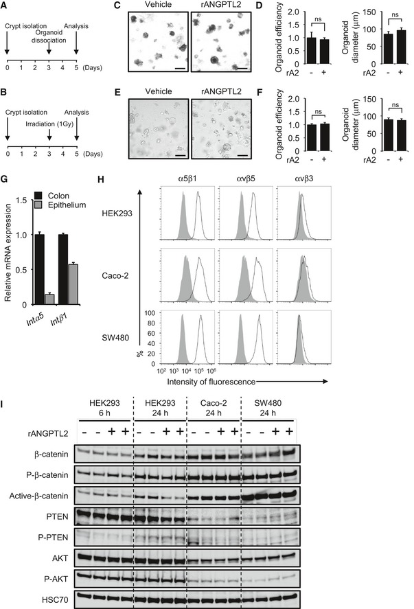 ANGPTL 2 does not directly activate β‐catenin signaling in epithelial cells in vitro Experimental protocol of organoid regeneration assay. Dissociated organoid cultures treated with vehicle or rANGPTL2. Scale bar = 200 μm. Organoid growth efficiency and size after passage treated with vehicle or rANGPTL2 ( n = 4). Data from vehicle were set at 1. Organoid cultures following 1‐Gy irradiation and treated with vehicle or rANGPTL2. Scale bar = 200 μm. Organoid growth efficiency and size after 1‐Gy irradiation and treated with vehicle or rANGPTL2 ( n = 12). Data from vehicle were set at 1. mRNA levels of indicated transcripts in colon and epithelium from wild‐type mice ( n = 4) based on qRT–PCR analysis. Intα5 , integrin α5 ; Intβ1 , integrin β1 . Integrin expression in HEK293, Caco‐2, and SW480 cells. Representative profiles obtained by FACS analysis using indicated anti‐integrin antibodies (black line traces) or control IgG (filled gray traces). Western blotting analysis of HEK293, Caco‐2, and SW480 cells treated with vehicle or rANGPTL2. rA2, recombinant ANGPTL2. HSC70 serves as an internal control. Data information: Data are represented as means ± SEM. ns, not statistically significant. (D) Unpaired Student's t ‐test, (F) unpaired Student's t ‐test. Source data are available online for this figure.