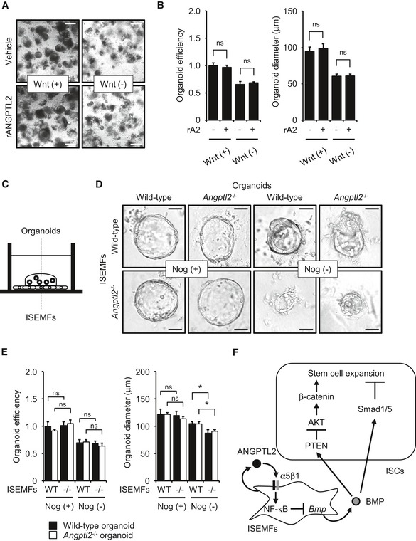 Co‐culture with Angptl2 −/− ISEMF s decreases organoid formation in vitro Colon organoid cultures treated with vehicle or rANGPTL2 protein. Scale bar = 200 μm. Organoid growth efficiency and size following treatment with vehicle or rANGPTL2. rA2, recombinant ANGPTL2. n = 4. Data from vehicle/Wnt (+) were set at 1. Schematic illustration of co‐culture of colon organoids with ISEMFs in direct contact. Colon organoid cultures in the presence of ISEMFs with or without Noggin (Nog). Scale bar = 50 μm. Organoid growth efficiency and size in the presence of ISEMFs with or without Noggin (Nog). n = 4. Data from wild‐type organoids/wild‐type ISEMFs/Nog (+) were set at 1. Model of ANGPTL2 activity in the intestinal stem cell niche. ISEMF‐derived ANGPTL2 inhibits BMP signaling in an autocrine manner through the integrin α5β1/NF‐κB pathway to maintain ISC stemness by regulating <t>β‐catenin</t> and Smad 1/5 signaling. Data information: Data are represented as mean ± SEM. * P