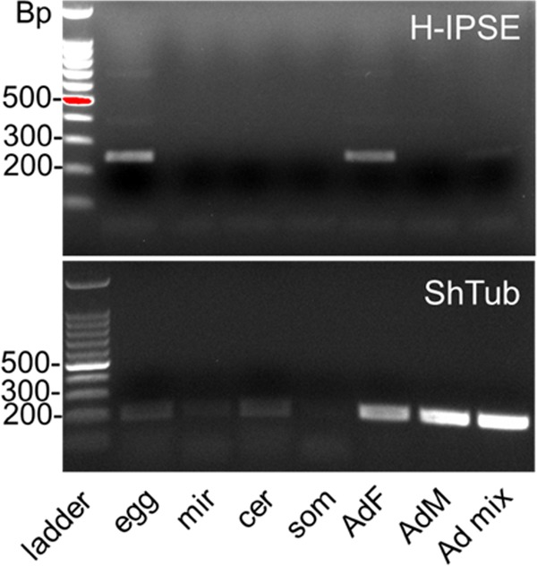 Stage-specific expression of H-IPSE mRNA. Shown are RT-PCR results for H-IPSE obtained from cDNAs prepared by reverse transcription of DNase-treated RNAs isolated at various life stages of S. haematobium . Ladder, 100-bp DNA ladder; egg, S. haematobium egg cDNA; mir, miracidial cDNA; cer, cercarial cDNA; som, in vitro mechanically transformed schistosomulum cDNA; AdF, AdM, and Ad mix, mixed cDNAs from female, male, and mixed adult worms, respectively; ShTub, S. haematobium tubulin (control housekeeping gene).