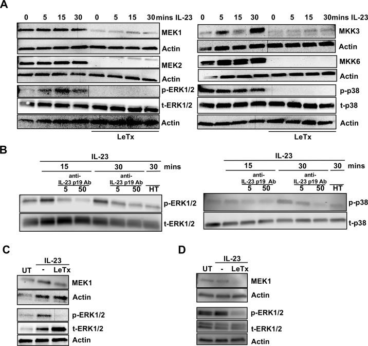 Down-regulation of ERK1/2 and p38 activation in ILC3s by lethal toxin. MNK-3 cells were pretreated with lethal toxin (1 μg/ml) for 2 hr followed by IL-23 stimulation as indicated. Cell lysates were harvested and subjected to immunoblot analysis for MEK1, MEK2, MKK3, MKK6, phosphorylated ERK1/2 (p-ERK1/2), total ERK1/2 (t-ERK1/2), phosphorylated p38 (p-p38), total p38 (t-p38) and actin. Shown is a representative blot for n = 2–4 experiments. (B) MNK-3 cells were pretreated with anti-IL-23 p19 antibody (5 or 50 μg/ml) for 1 hr followed by IL-23 stimulation for 15 or 30 min. Cell lysates were subjected to immunoblot analysis for phosphorylated ERK1/2 (p-ERK1/2), total ERK1/2, phosphorylated p38 (p-p38), total p38 and actin. Shown is a representative blot for 2–4 experiments. ( C ) In vitro expanded human Lin - CD127 + cells or ( D ) mouse Lin - CD127 + c-Kit + Thy1.2 + cells expanded from splenocytes of Rag1 -/- mice were treated with lethal toxin for 2 hr followed by IL-23 stimulation for 30 mins. Cell lysates were analyzed for MEK1, phosphorylated ERK1/2 (p-ERK1/2), total ERK1/2 and actin by immunoblot analysis. Shown are representative blots from 2 independent experiments for both C and D.
