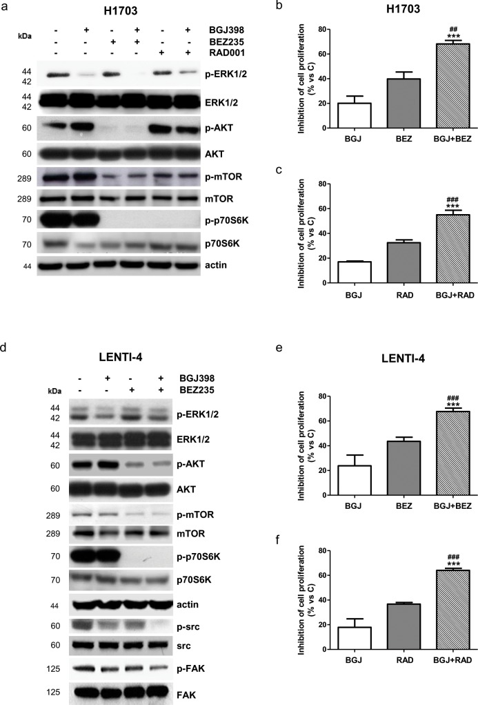 Effects of the combination of NVP-BGJ398 with AKT/mTOR inhibitors on H1703 and LENTI-4 cells (a) H1703 cells were treated with 1μM NVP-BGJ398, 0.1μM NVP-BEZ235, and 0.1μM RAD001 alone or with NVP-BGJ398 in combination with NVP-BEZ235 or RAD001. After 24h protein expression was assessed by Western Blot analysis. H1703 cells were treated with 1μM NVP-BGJ398 or 0.01μM NVP-BEZ235 alone or in combination (b) and with 1μM NVP-BGJ398 or 0.01μM RAD001 alone or in combination (c) . After 72h cell survival/proliferation was evaluated by CV assay. (d) LENTI-4 cells were treated with 1μM NVP-BGJ398 or 0.1μM NVP-BEZ235 alone or in combination. After 24h protein expression was assessed by Western Blot analysis. LENTI-4 cells were treated with 1μM NVP-BGJ398, 0.01μM NVP-BEZ235 alone or in combination (e) and with 1μM NVP-BGJ398 or 0.01μM RAD001 alone or in combination (f) . After 72h cell survival/proliferation was evaluated by CV assay. Results in (a and d) are representative of three independent experiments. Data in (b, c, e , and f) are expressed as percent inhibition of cell proliferation vs control cells (C) and are mean values ±SD of three independent experiments. *** P