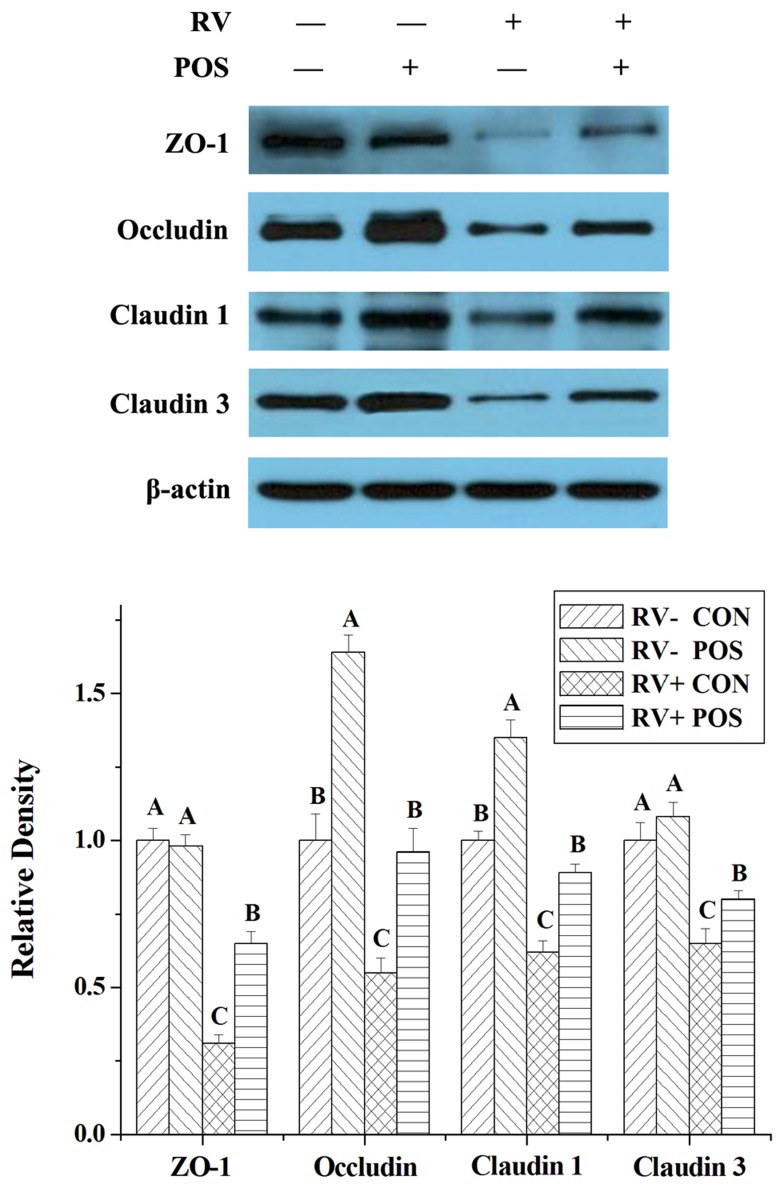 The effect of dietary APOS supplementation and/or RV challenge on the levels of ZO-1, occludin, claudin 1 and claudin 3 in the jejunal mucosa of weaned pigs Representative Western blots for ZO-1, occludin, claudin 1, claudin 3 and β-actin in the jejunal mucosa of weaned pigs were shown. Results were expressed as the amount of ZO-1, occludin, claudin 1 and claudin 3 to β-actin in each treatment as a ratio of the other pigs to the unchallenging pigs fed basal diet. Values are means ± SE; n = 7. Values with different letters are significantly different ( P