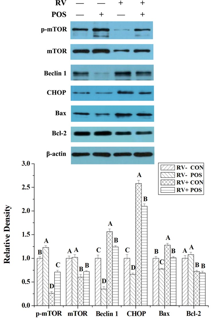 The effect of dietary APOS supplementation and/or RV challenge on the levels of p-mTOR, mTOR, Beclin 1, CHOP, Bax and Bcl-2 in the jejunal mucosa of weaned pigs Representative Western blots for p-mTOR, mTOR, Beclin 1, CHOP, Bax, Bcl-2 and β-actin in the jejunal mucosa of weaned pigs were shown. Results were expressed as the amount of p-mTOR, mTOR, Beclin 1, CHOP, Bax and Bcl-2 to β-actin in each treatment as a ratio of the other pigs to the unchallenging pigs fed basal diet. Values are means ± SE; n = 7. Values with different letters are significantly different ( P