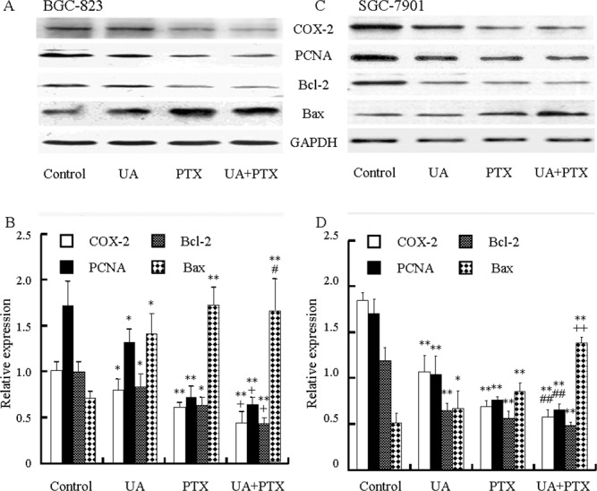 Effects of UA and PTX on the COX-2, PCNA, Bcl-2, and Bax expression in BGC-823 and SGC-7901 cells Cells were treated with 12 μM UA, 2.5 nM PTX, or both for 48 hours. (A and C) COX-2, PCNA, Bcl-2, and Bax expression was detected by Western blot analysis. (B and D) The histogram represents the relative expressions of COX-2, PCNA, Bcl-2, and Bax compared with GAPDH. Each data point represents the mean ± SD from three independent experiments. * P