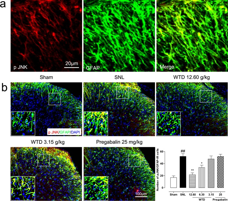 WTD decreased spinal astrocytic levels of p-JNK 10 days after surgical operation, p-JNK were primarily localized in astrocyte (a) . Immunofluorescence staining showed WTD (3.15-12.60 g/kg), but not pregabalin (25 mg/kg, p.o.), dose-dependently decreased p-JNK/GFAP-IR cells in the superficial lamina of SNL mice (b) . Data are represented as mean ± SEM. ## P