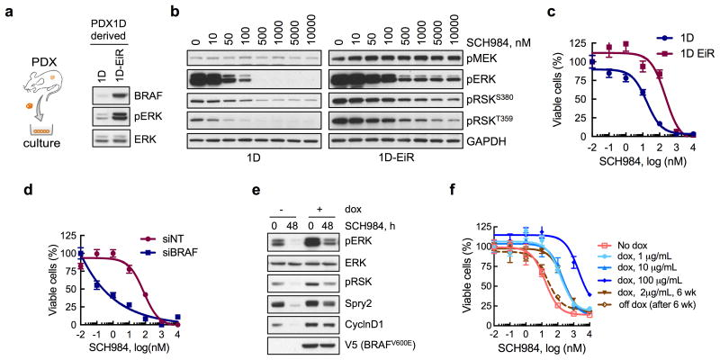 BRAF amp is sufficient to confer a selective advantage in the presence of ERKi treatment ( a ) Immunoblot analysis of cell lines derived from parental (1D) or ERK inhibitor-resistant (1D-EiR) PDX. ( b ) Immunoblot analysis of signaling intermediates in 1D and 1D-EiR cells treated for 1h with SCH984. ( c ) Cell viability at 72h after treatment. ( d ) Cell viability of 1D-EiR cells transfected with BRAF specific or control siRNAs followed by drug treatment as in c. ( e f ) A375 cells, engineered to express BRAF V600E under a doxycycline (dox)-induced promoter, were treated as shown (dox, 2μg/mL; SCH984, 500 nM) to determine the effect on signaling by immunoblotting (e) or viability (f). Withdrawal of dox after a 6-week stimulation restored sensitivity to the ERKi. A representative of at least two independent experiments is shown for the immunoblots in this figure. In viability experiments, n = 3, mean ± s.e.m.