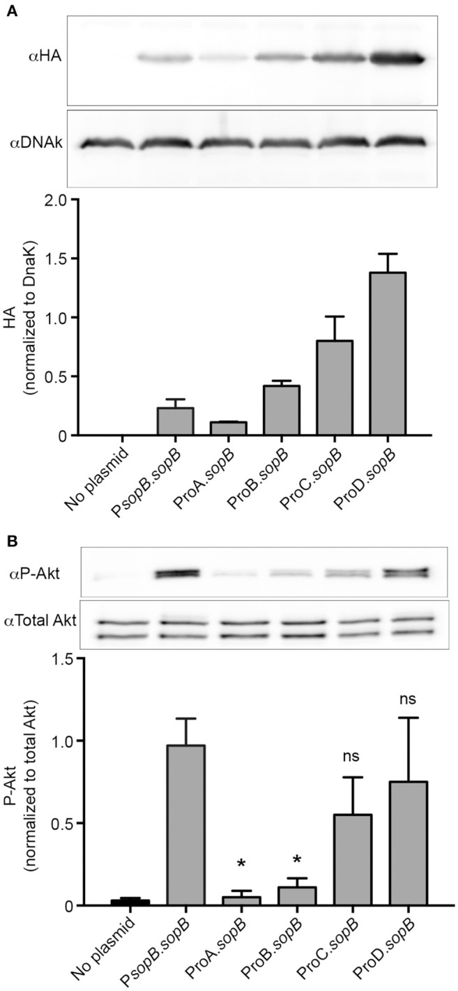 Tunable constitutive expression of the T3SS1 effector, SopB. (A) Δ sopB bacteria harboring the indicated plasmids were grown to late-log phase in LB-Miller broth with aeration. Samples were solubilized and processed for immunoblotting using antibodies to detect HA and DnaK. Representative immunoblots (top panel) are shown along with quantification of three experiments by densitometry analysis (bottom panel). Shown is the ratio of HA signal to DnaK signal (mean ± SD ). (B) Infected HeLa cells were solubilized at 60 min pi and processed for immunoblotting using antibodies to detect phospho-Akt and total Akt. Representative immunoblots (top panel) are shown along with quantification of three experiments by densitometry analysis (bottom panel). Shown is the ratio of phospho-Akt signal to total Akt signal (mean ± SD ). * Signifies P -value ≤ 0.05.