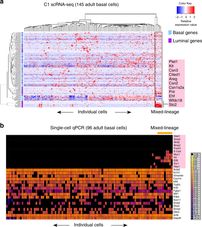 Purified basal epithelial cells in the adult gland comprise a lineage-primed subset. a Heatmap showing expression of the top 200 DE basal (blue) and top 200 DE luminal (purple) lineage genes in 145 sorted basal epithelial cells (Lin – CD29 hi CD24 + ) from adult mammary glands that were captured on the Fluidigm C1 platform (red = high expression, blue = low expression) ( n = 4 mice). Mixed-lineage intermediate cells are marked in the box. b Heatmap showing <t>qRT-PCR</t> expression for 96 sorted adult basal cells ( n = 6 mice; 4 independent experiments). <t>Taqman</t> assays for 13 basal and 11 luminal lineage genes were applied using the Fluidigm Biomark multiplexed <t>qPCR</t> platform. The color key shows Ct values from black (Ct > 40, no expression) to yellow (highest expression). Mixed-lineage cells expressing both basal and luminal genes are marked by the orange bar